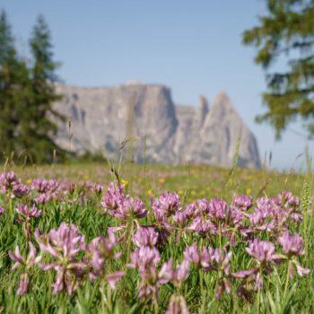 Un mare di fiori sull'Alpe di Siusi